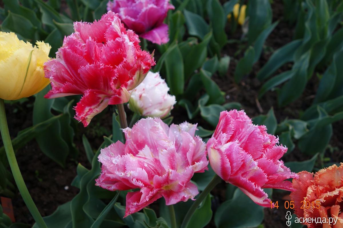 Тюльпан фринджет фэмили