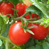 Как бороться со штриховатостью томатов