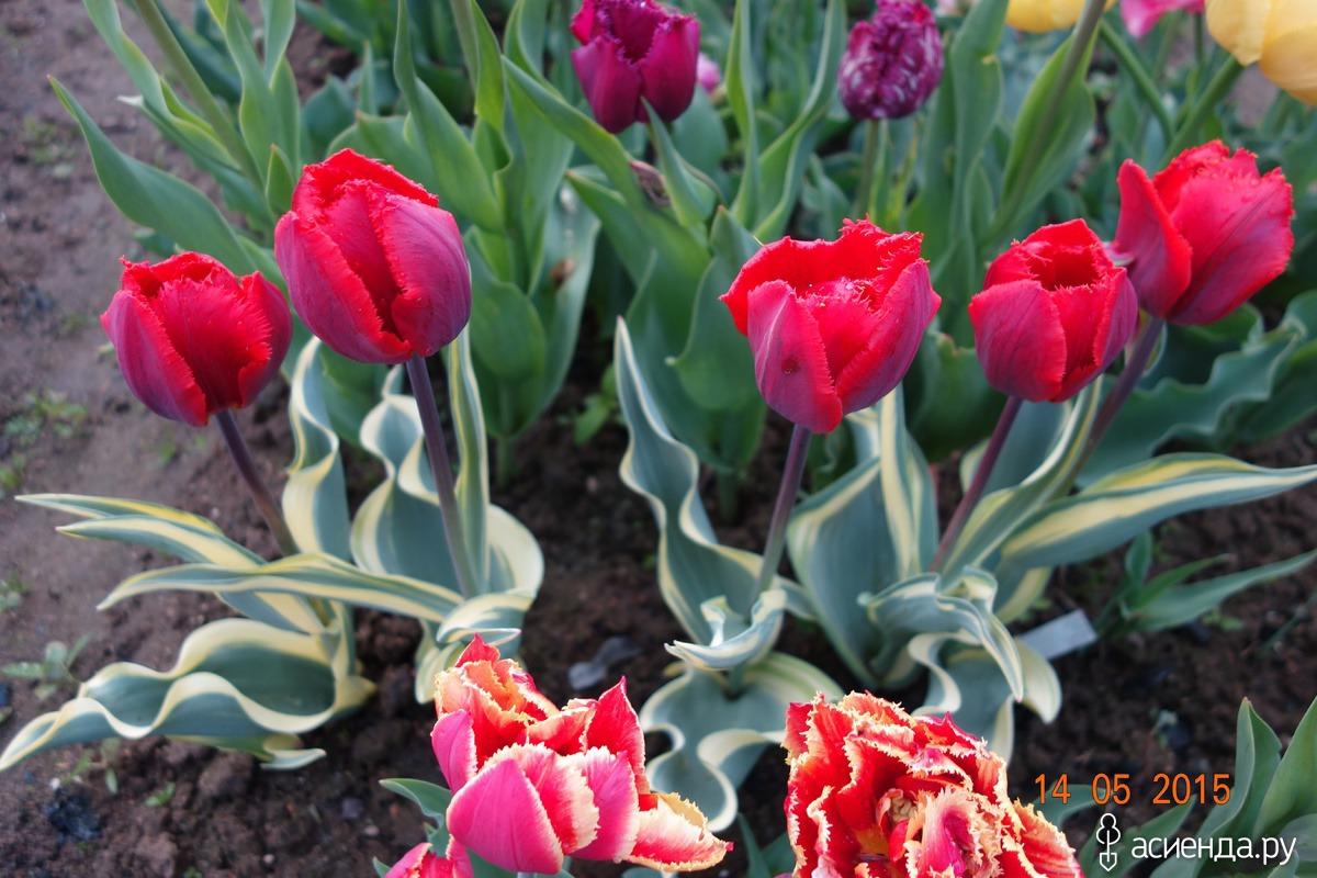 тюльпан символ анальности-ри2