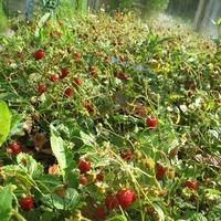 Райская ягода земляника или амброзия на даче