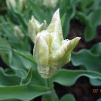 Зеленые тюльпаны!