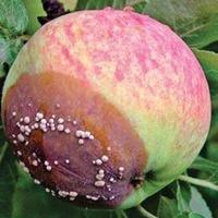 Горькая гниль плодов груш и яблонь