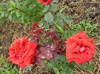 Как часто сажают розы? Вот вопрос!