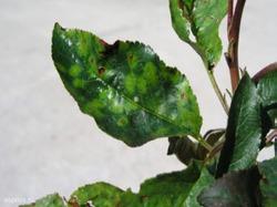 Стекленбергский вироз вишни
