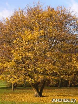 вяз осенью фото