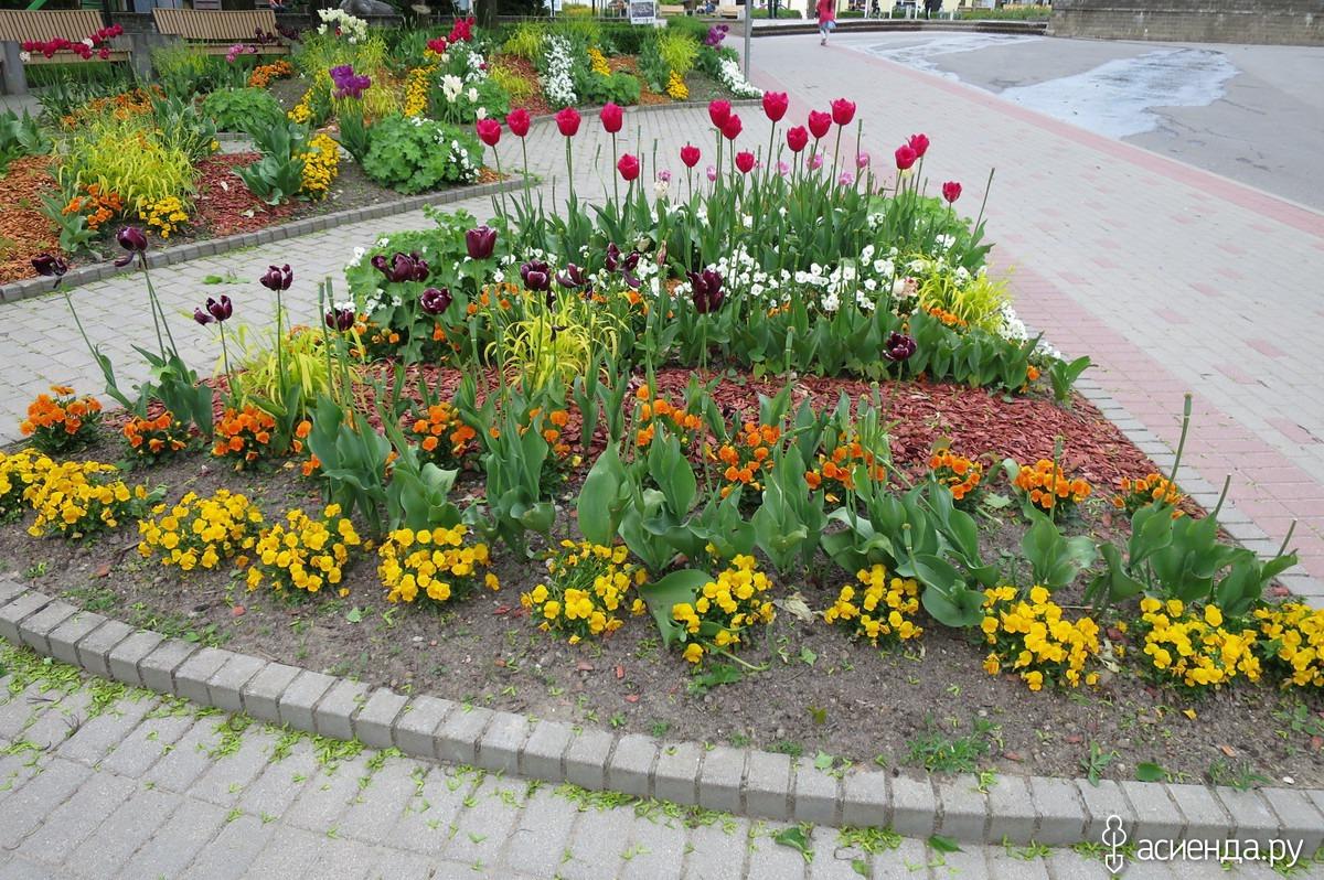 как красиво высадить тюльпаны фото