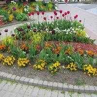 Вариант посадки тюльпанов на клумбу. Очень красиво и интересно!