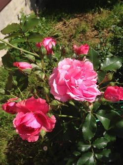Кукарача по- новому укрыла розы и закончила дачный сезон