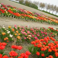 Прогулка по цветочным полям. Нидерланды. часть 2.