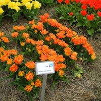 Прогулка по цветочным полям. Нидерланды. часть 3.