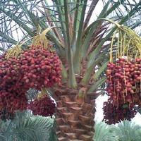 Финиковая пальма и финики