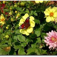 А к августу и бабочки проснулись!