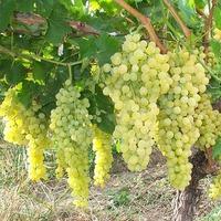 Вертициллезное увядание винограда