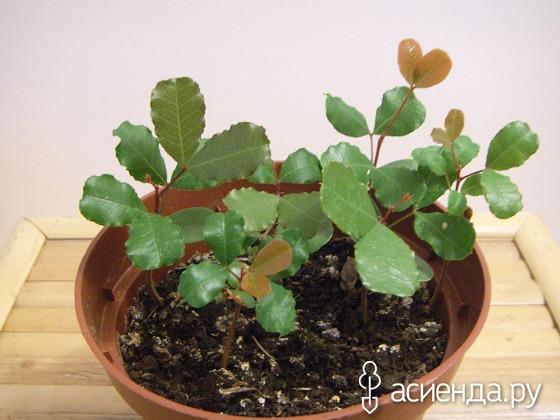 Рожковое дерево в домашних условиях фото