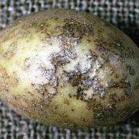 Бугорчатая парша картофеля