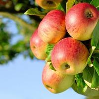 Целительные яблоки