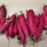 Выращивание редьки, репы, редиса и дайкона