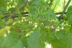 Пятнистый антракноз виноградной лозы