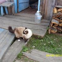 Кошка тайской породы