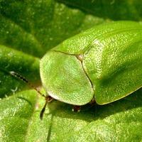 Щитоноска зеленая - любительница мяты