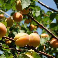 Бактериальная пятнистость абрикоса