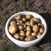 Картошка, свёкла, морковка, лук и зелень собраны...