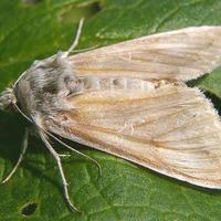 Бледный луговой мотылек - враг зонтичных культур