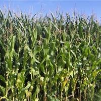 Фузариоз всходов кукурузы