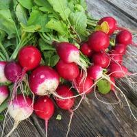 Сравнение пяти сортов редиса для выращивания в конце лета