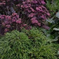 Желанное растение для различных стилей сада-кипарисовик горохоплодный Филифера