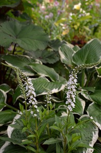Белые флюгеры в саду -Вербейник клетровидный или ландышевый
