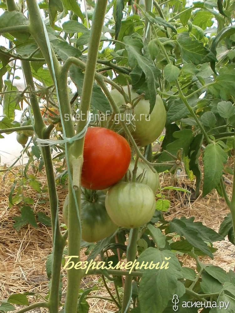 нами томат безразмерный отзывы и фото имущество президента белоруссии