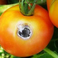 Белая гниль томата