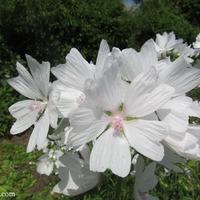 Радуга в моем саду: белый
