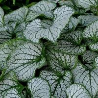 Растение с большим сердцем- Бруннера