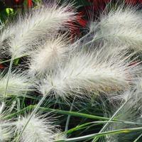 Злаки для флористики – выращиваем сами