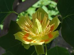 Лириодендрон или тюльпановое дерево