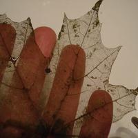 Оскелечивание листьев