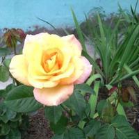 Желтые цветы.