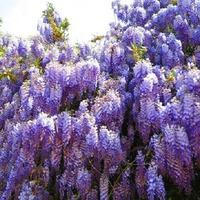 Ласково цветёт Глициния