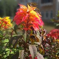 Прекрасный Амарант (Amaranthus)