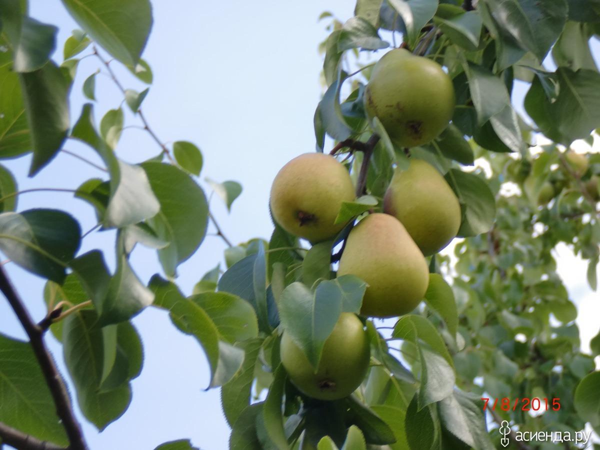 Яблоня медовая фото описание сгодится