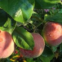 Яблочное варенье.