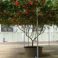 """""""Иксперимент"""" с томатным деревом..."""