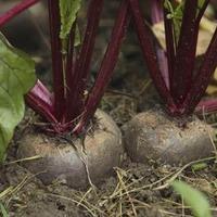 Свекольная корневая тля - гроза корнеплодов