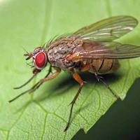 Зоркая летняя капустная муха