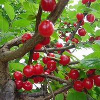 Парша вишни и черешни