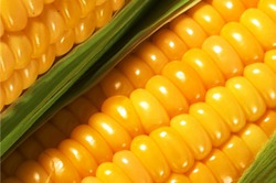 Красная гниль початков кукурузы
