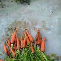 А не сварить ли нам варенье из морковки?