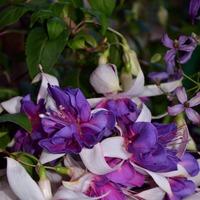 Для тех кто любит волшебные цветы под названием фуксия.